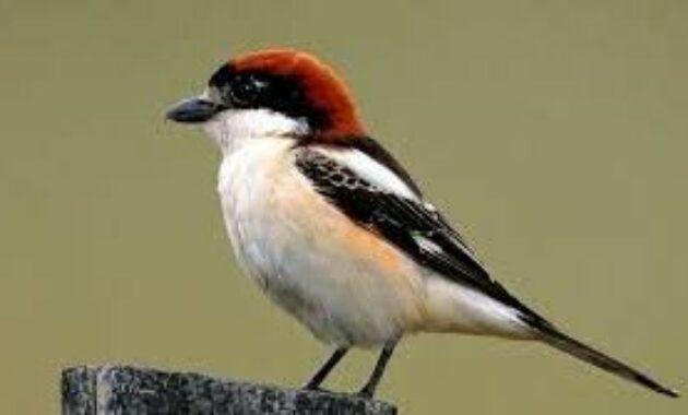 jenis-burung-cendet-madura