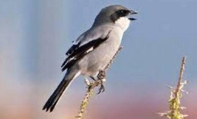 jenis-jenis-burung-cendet-di-jawa