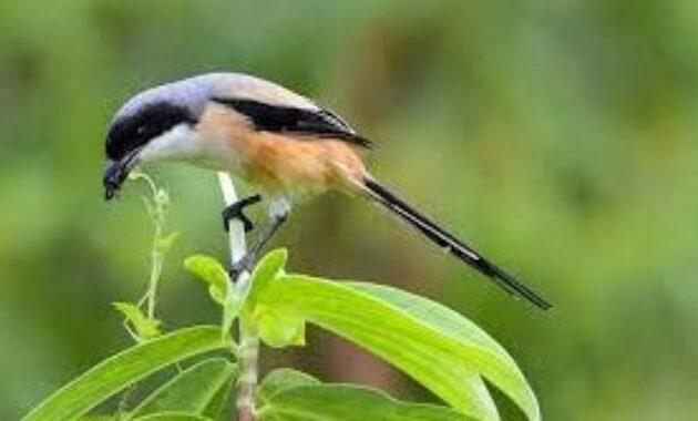 makanan-burung-cendet-di-alam-liar