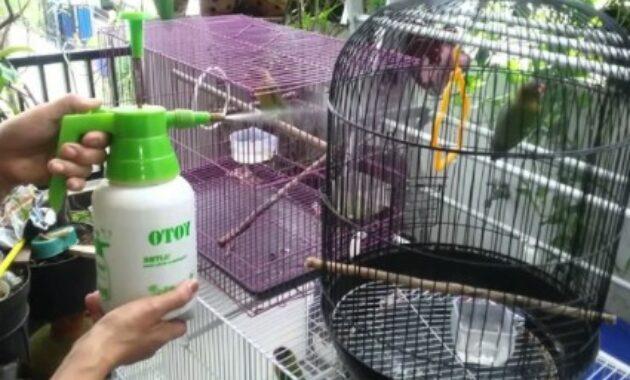 perawatan-harian-lovebird-lomba