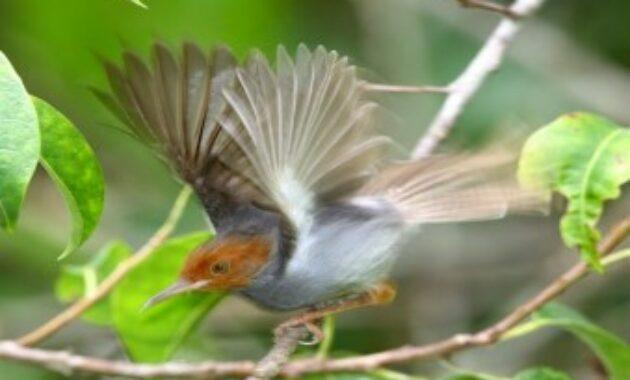 suara-burung-prenjak-kepala-merah-betina