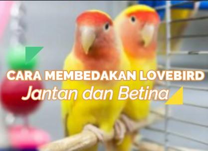 cara-membedakan-lovebird-jantan-dan-betina