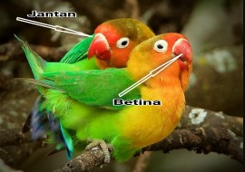 ciri-ciri-burung-lovebird-betina