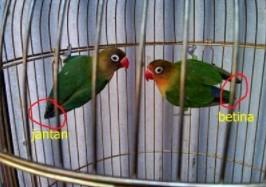 ciri-ciri-lovebird-jantan-dan-betina