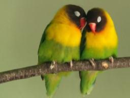 ciri-ciri-lovebird